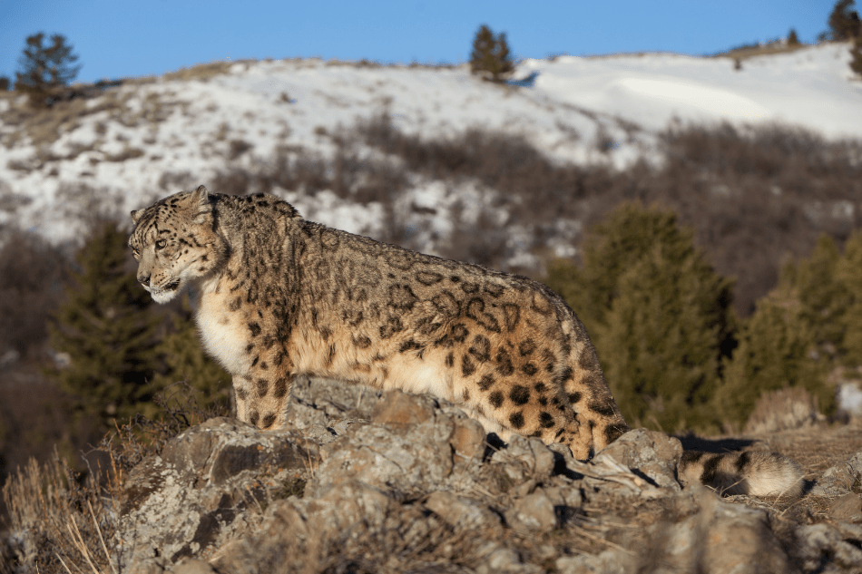 Snow leopard perching in mountains Indian wildlife