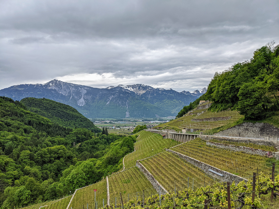 rows of vineyards in Switzerland along a winding road with snow-capped mountains in the distance