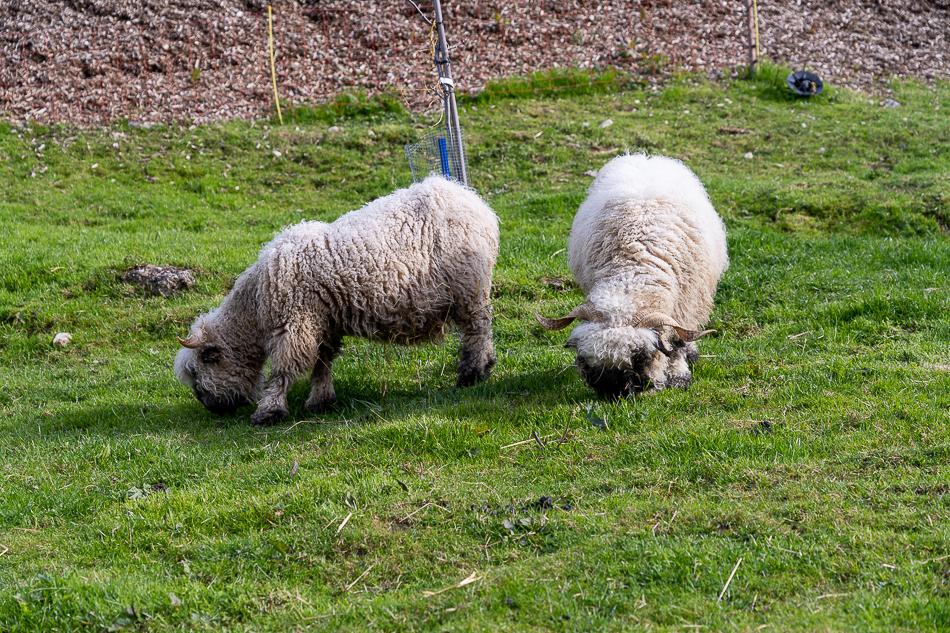 two horned sheet grazing on a Switzerland bio farm