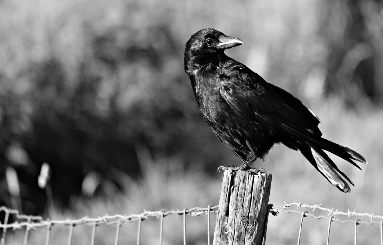 An image of a crow