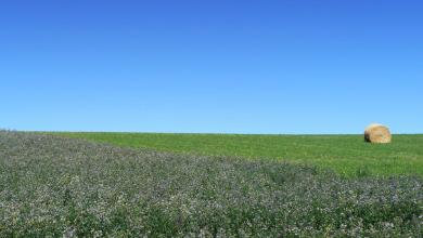 Photo of Alfalfa: Fun Facts and How to Use Alfalfa