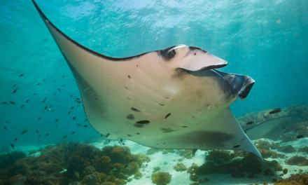 Manta Rays in Coral Bay