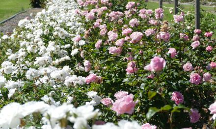 Things to do in Goulburn – City of Roses