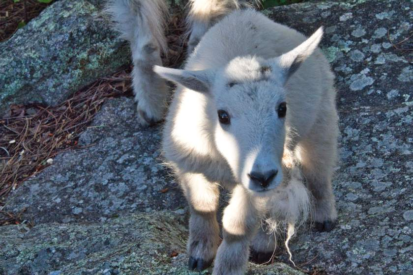 Curious Craig - Goat-at-Rushmore.jpeg