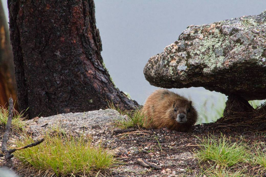 Curious Craig - Marmot-under-Rock.jpeg