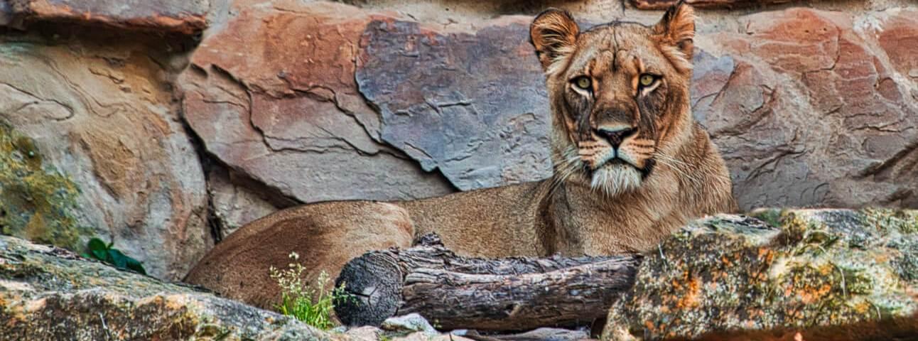 Curious Craig - Lion-on-the-Rocks.jpeg