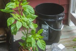 Hydroponic Chili Plant