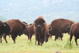 buffalo-1436182_640