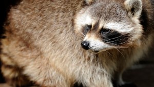A raccoon is pictured at the zoo of Amneville, eastern France, on June 5, 2012 . AFP PHOTO / JEAN-CHRISTOPHE VERHAEGEN (Photo credit should read JEAN-CHRISTOPHE VERHAEGEN/AFP/GettyImages)