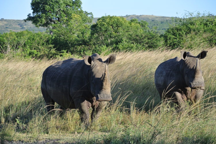 Image of the rhinos on Romy's adventures through Africa