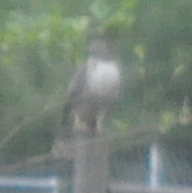 Hawk on fence.
