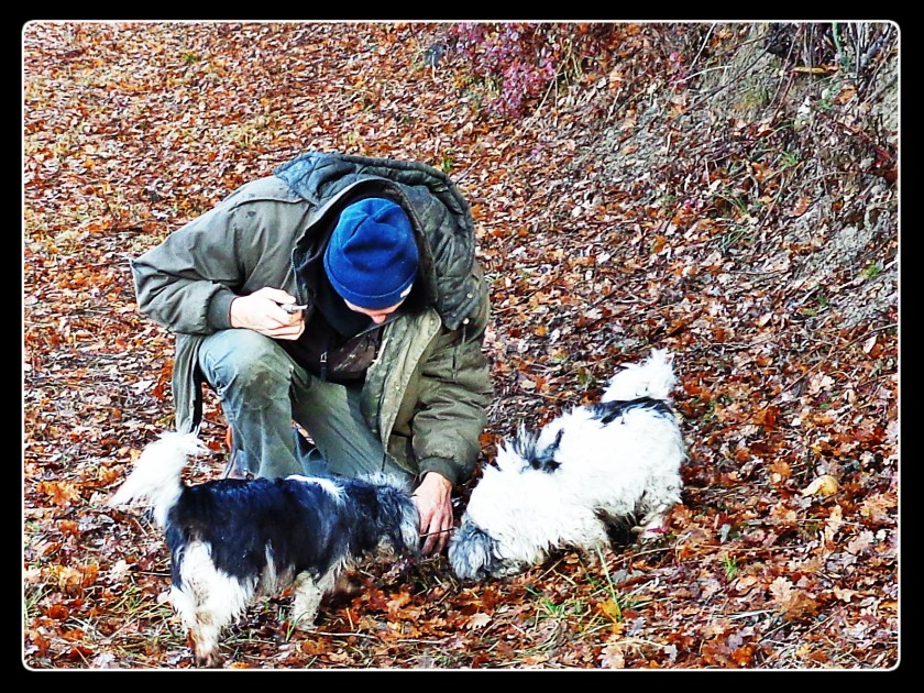 truffle hunting dogs