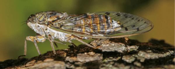 Cicada, Cigale, Provence