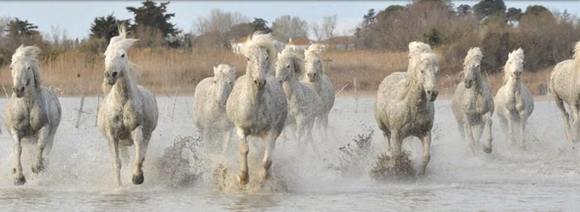 camargue-horses-copy
