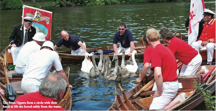 Swan upping modern