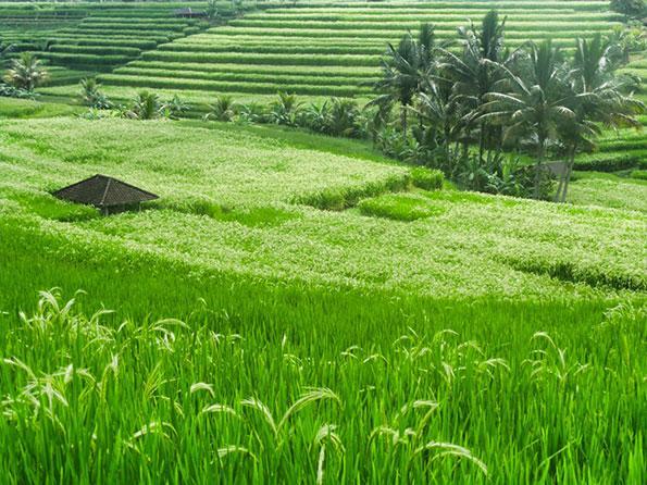 rice-fields-bali-ubud