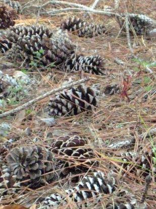 lots of pine cones