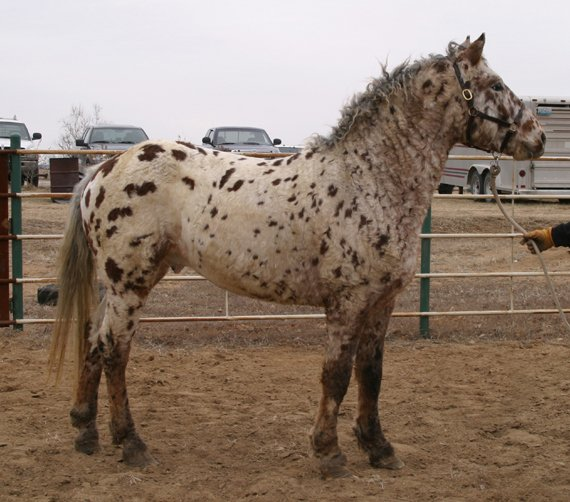 Professional Photos of a rare Bashkir Curly Stallion with Leopard Appaloosa Coloring AAAK-1