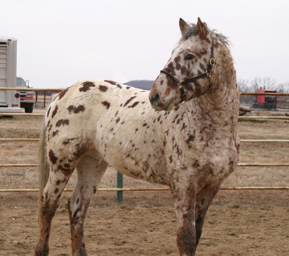 Professional Photos of a rare Bashkir Curly Stallion with Leopard Appaloosa Coloring DR-1