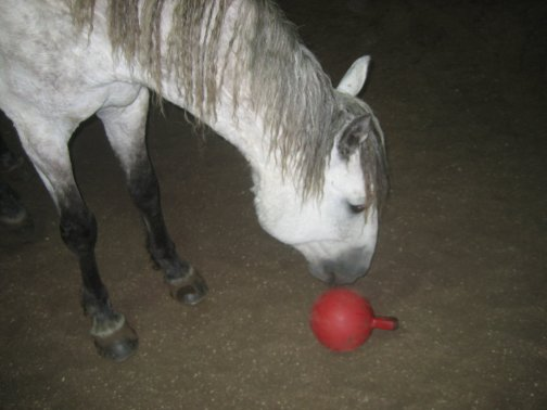 Grey horse being trained to fetch a small toy