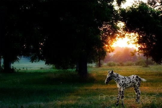 Early morning turnout might be best for horses with skin very susceptible to sunburn like this leopard appaloosa colored foal