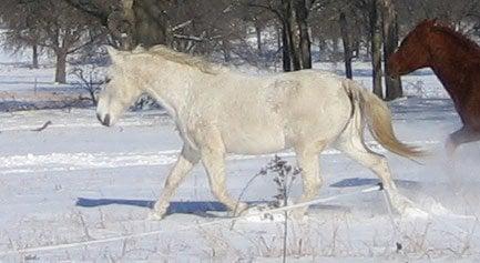 White Mare trotting through snow