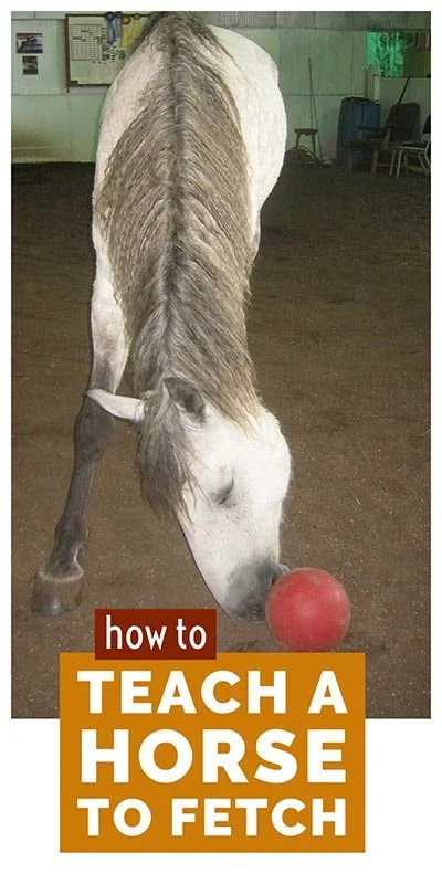 How to teach your horse to fetch - easy steps to teach your horse this impressive trick