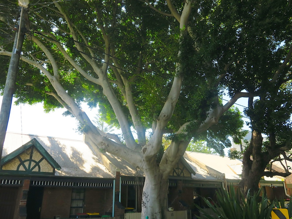 Huge tree in St Peters, Sydney |curlytraveller.com