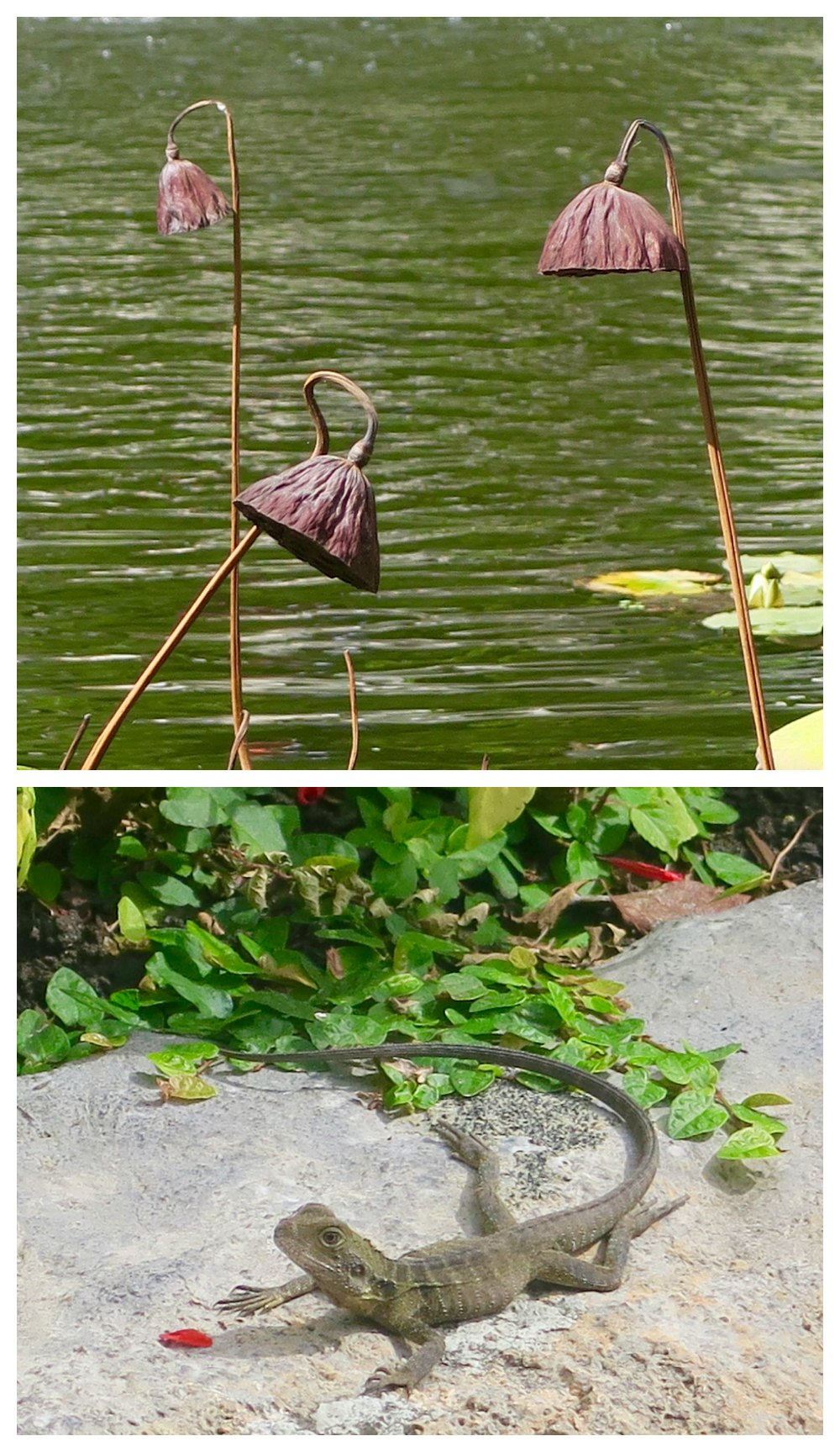 plants and lizard at chinese gardens darling harbour sydney |curlytraveller.com
