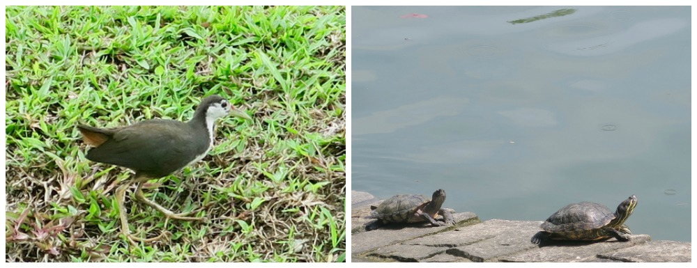 Waterhen and turtles in Punggol |curlytraveller.com