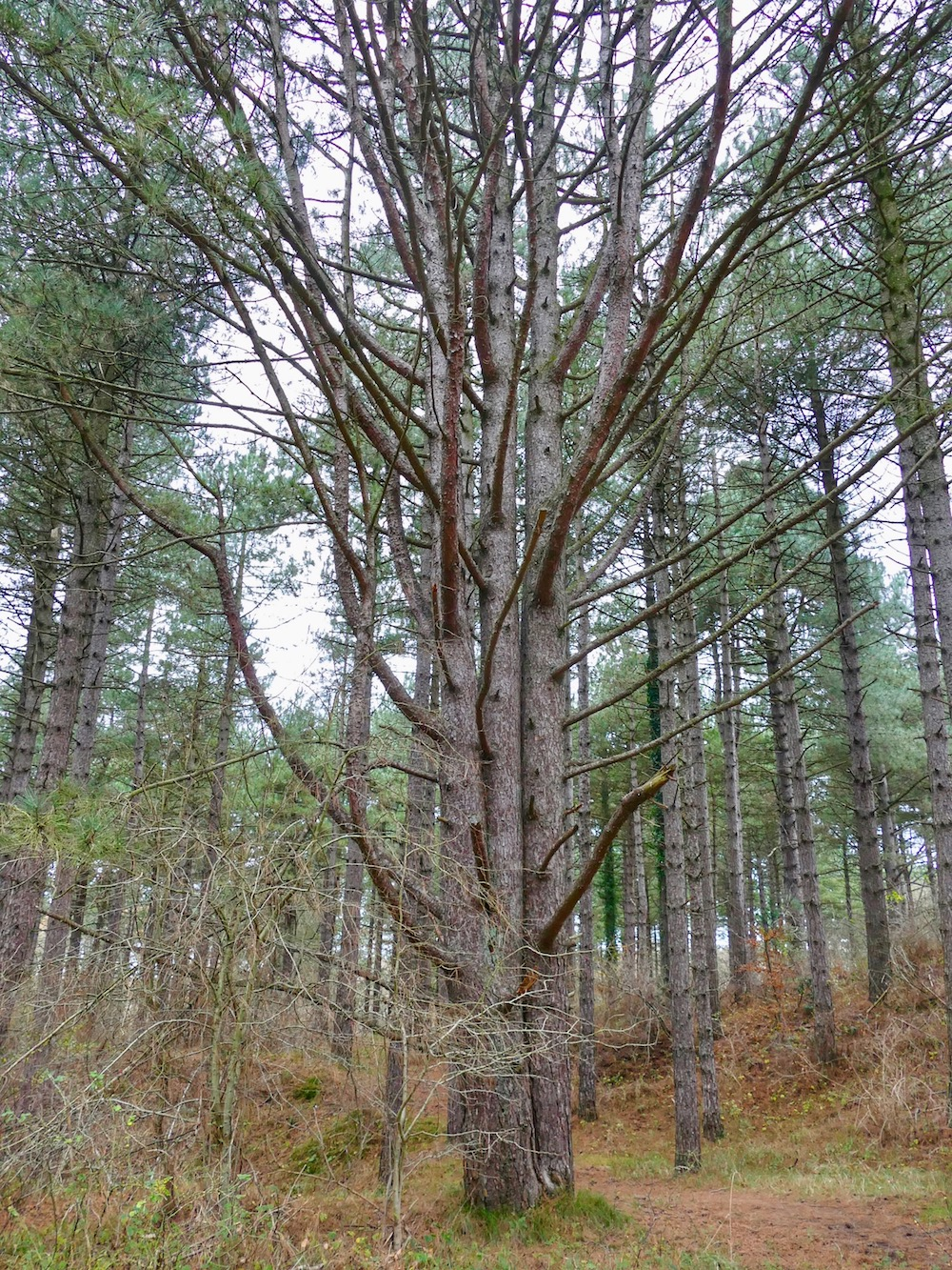 Siamese twin trees in National Park Kennemerduinen |curlytraveller.com