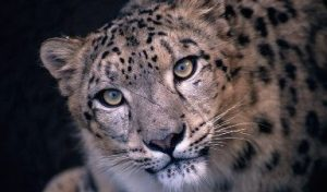 Nepal launches world's First Climate smart landscape management plan for snow leopard conservation
