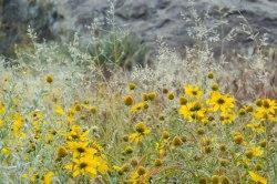 hueco tanks flowers-0627