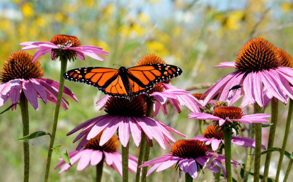 Butterfly on flowers in a pollinator garden