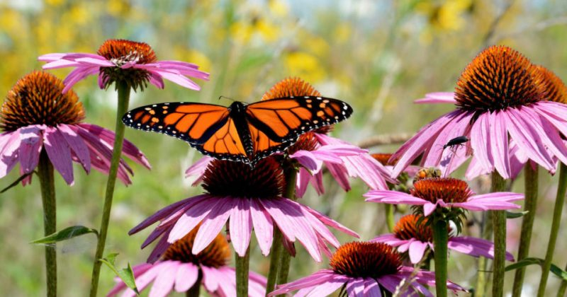 Butterfly on flowers in a pollinator garden