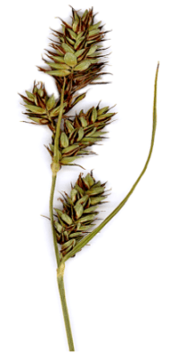 Image of Carex buxbaumii