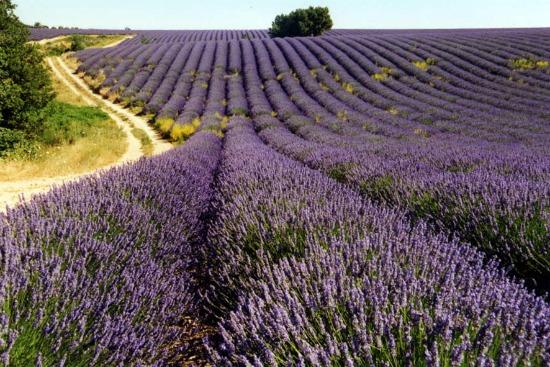 Aromatherapie - Lavendelveld voor lavendelolie