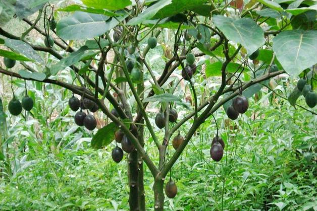 brazil nut paranoot 4 - Beauty ingrediënt | Brazil nut (paranoot)
