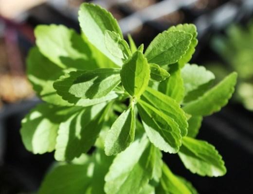 stevia1 - Stevia (honingkruid) + recept
