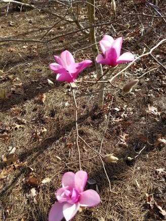 Tulip tree blooms up close