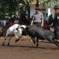 Ram Fighting in Bandung