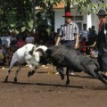 Ram Fighting in Bandung