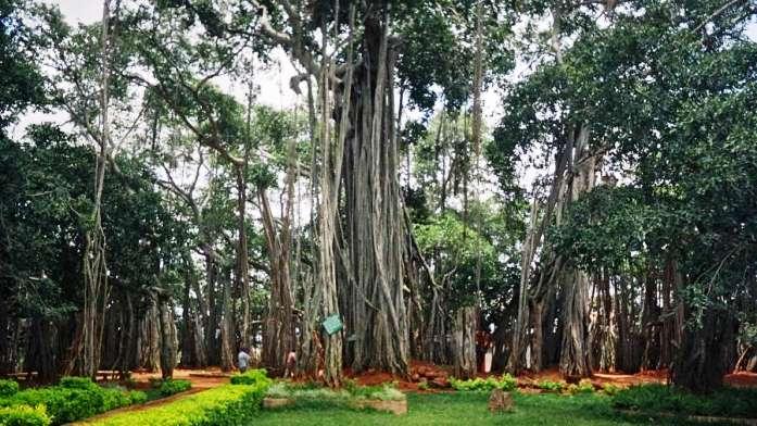 dodda alada mara, banyan tree, bangalore, india