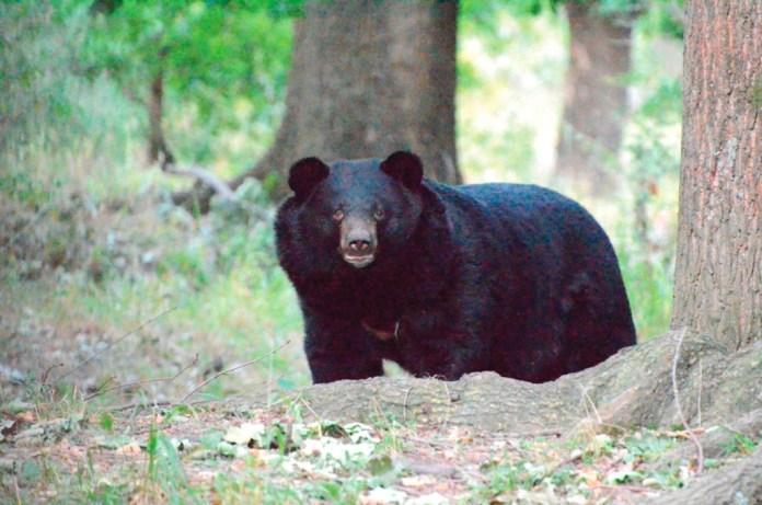 national park, srinagar, india, black bear