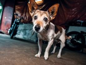 Jack-Russell-Terrier Jackie ist immer dabei