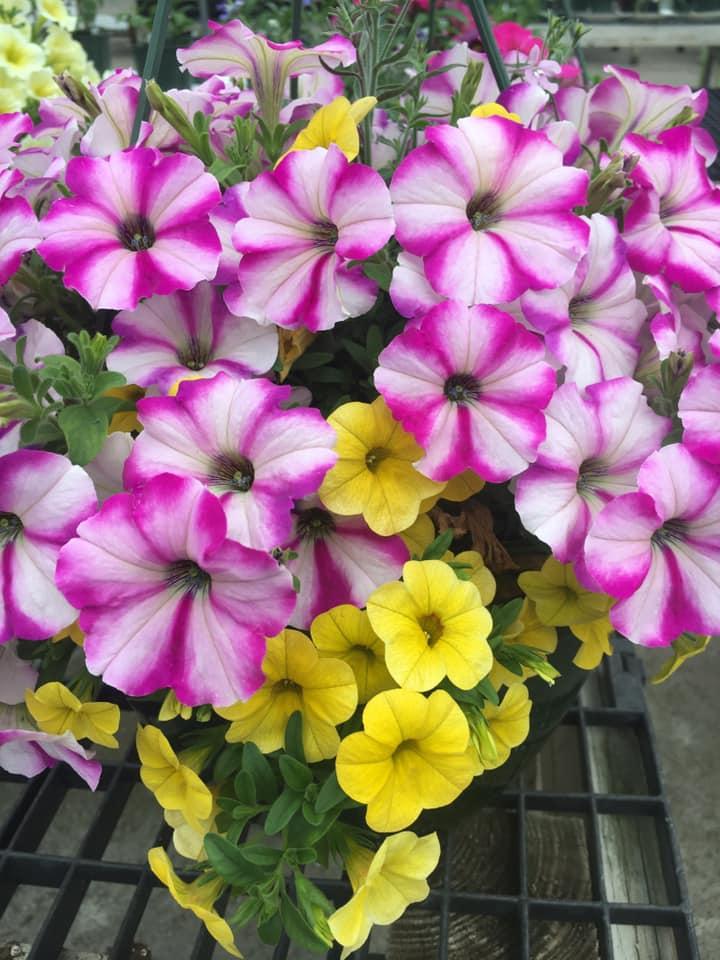 Calibrachoa, million bells flowers