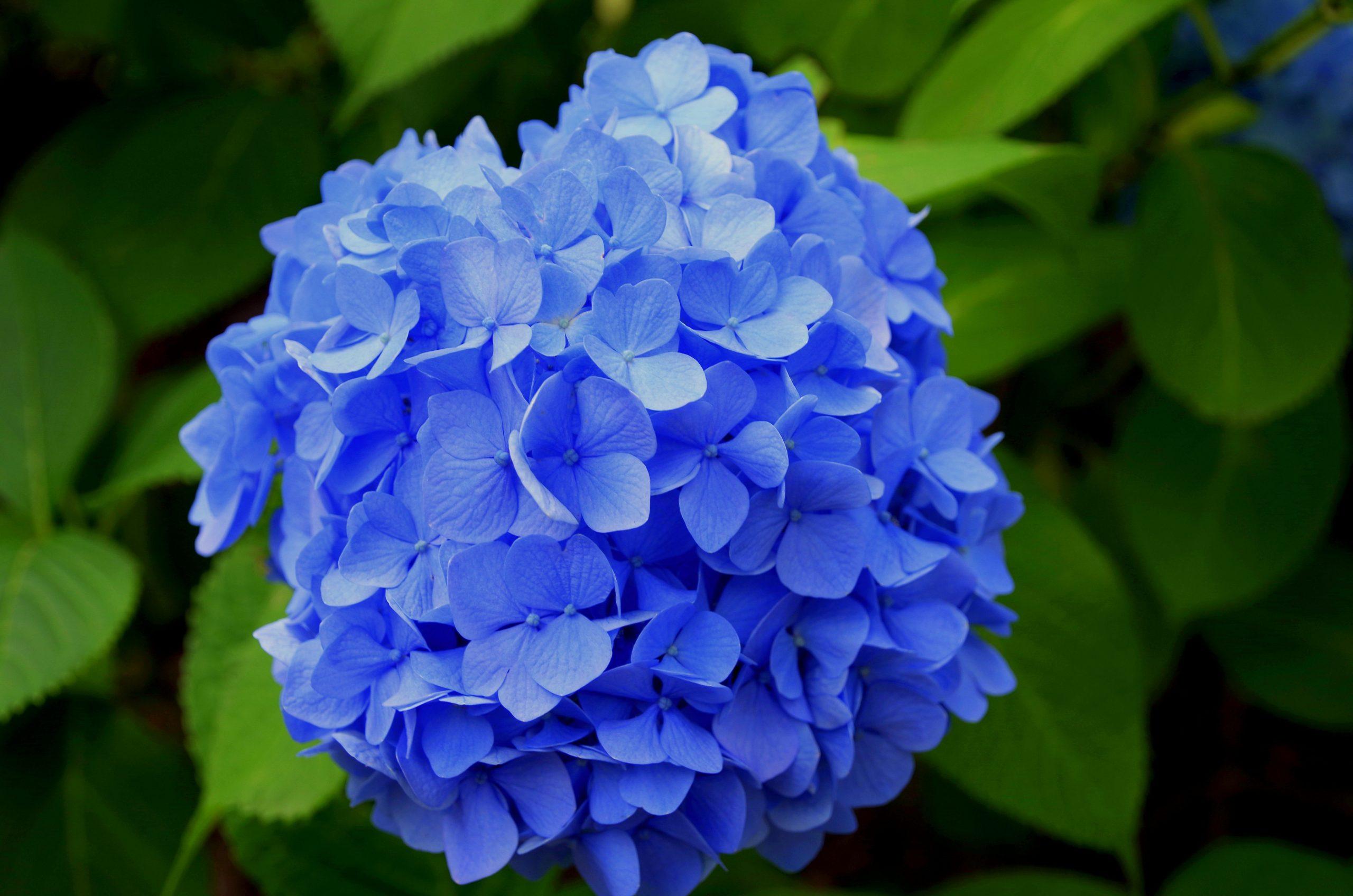 Hydrangeas blue Easter Flower