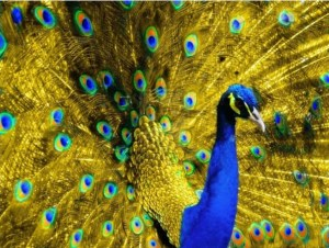 Golden Blue Peacock