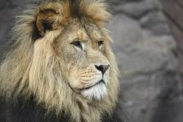 lion-1209289_1920