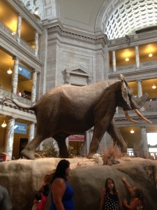 Elephant at the Smithsonian Museum